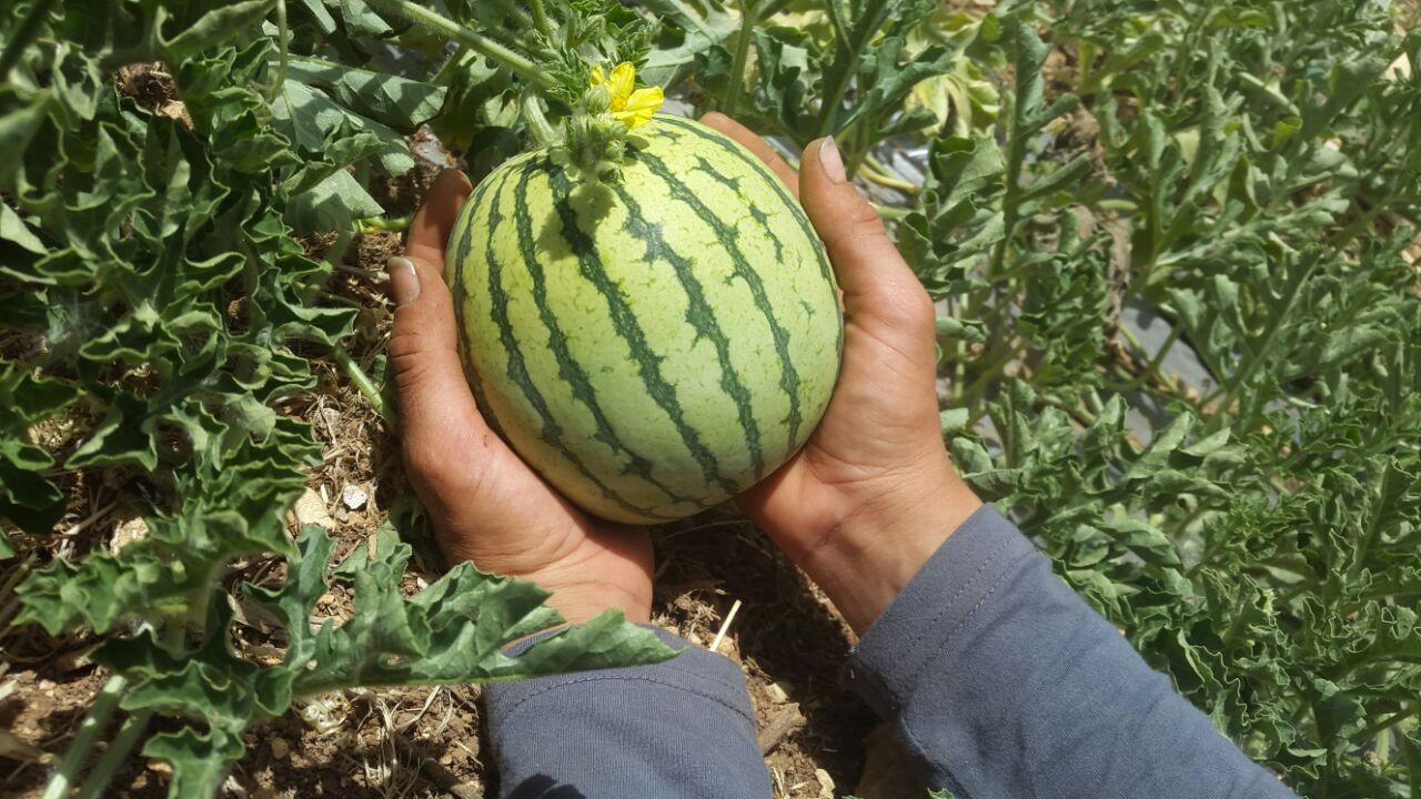 melon in hands